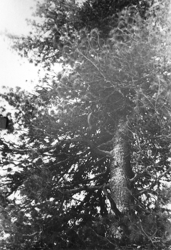 Dyatlov Pass incident cedar tree