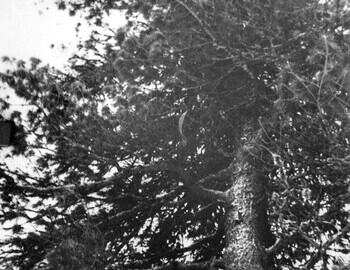 Cedar. According to Askinadzi this photograph is from 1959, but it may have been taken later (after 1959). From Koskin's archive.
